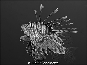 I had a great time with a group of Lionfish and wondered ... by Paul Flandinette 